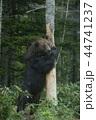 ヒグマ エゾヒグマ 熊の写真 44741237