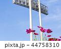 神戸総合運動公園 コスモス 花の写真 44758310
