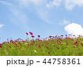 神戸総合運動公園 コスモス 花畑の写真 44758361