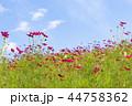 神戸総合運動公園 コスモス コスモス畑の写真 44758362