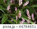 昆虫 虫 ホソヒラタアブの写真 44764651