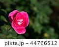 ピンク 薔薇 植物の写真 44766512