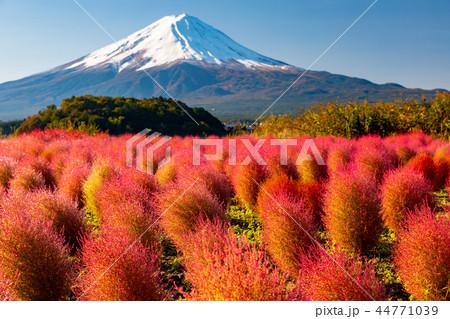 快晴・富士山と紅葉のコキア 44771039
