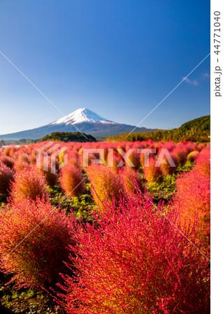 快晴・富士山とコキア紅葉 44771040