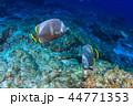 ユウゼン 熱帯魚 魚の写真 44771353