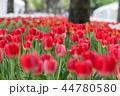 チューリップ 咲く 花の写真 44780580