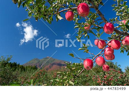 【青森県弘前市りんご】岩木山麓津軽の秋、りんご園は収穫中 44783499