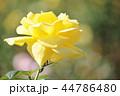 バラ 花 薔薇の写真 44786480