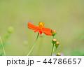 コスモス 秋桜 花の写真 44786657