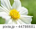 コスモス 秋桜 花の写真 44786681