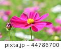 コスモス 秋桜 花の写真 44786700