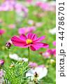 コスモス 秋桜 花の写真 44786701