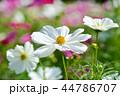 コスモス 秋桜 花の写真 44786707