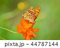 コスモス 蝶 花の写真 44787144