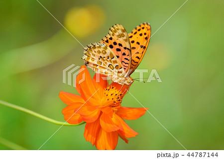 満開のコスモスと蝶々 44787144