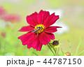 コスモス 秋桜 花の写真 44787150
