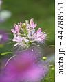 植物 花 風蝶草の写真 44788551