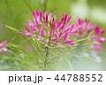 植物 花 風蝶草の写真 44788552