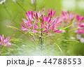 植物 花 風蝶草の写真 44788553