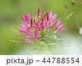 植物 花 風蝶草の写真 44788554