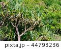 タコノキ 実 木の写真 44793236