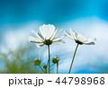 コスモス 秋桜 花の写真 44798968
