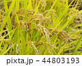 高アミロース米の栽培 44803193