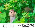 シマリス 栗鼠 リスの写真 44808279