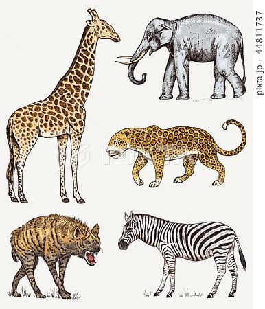 Set of African animals. Elephant Giraffe Leopard Hyena Wild zebra. Engraved hand drawn Vintage old 44811737