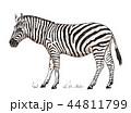 動物 しまうま シマウマのイラスト 44811799