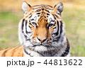 アムールトラ アムール川 ポートレートの写真 44813622