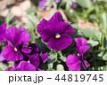 パンジー 花 植物の写真 44819745