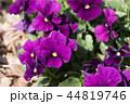 パンジー 花 植物の写真 44819746