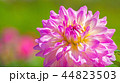 ダリア 花 植物の写真 44823503