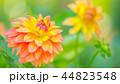 ダリア 花 植物の写真 44823548