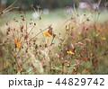 蝶々 コスモス 昆虫の写真 44829742