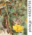 蝶々 コスモス 昆虫の写真 44829756