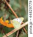 蝶々 コスモス 昆虫の写真 44829779