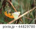 蝶々 コスモス 昆虫の写真 44829780