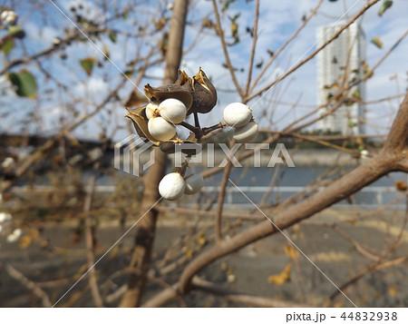白色の蝋状物質に包まれた種を出したナンキンハゼの実 44832938