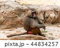 マントヒヒ 猿 動物の写真 44834257