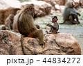 サル マントヒヒ 動物の写真 44834272