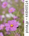 コスモス 花 桃色の写真 44840514