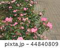 秋のバラ 44840809