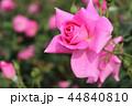 秋のバラ 44840810