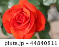 秋のバラ 44840811