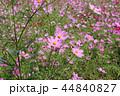 秋桜畑 44840827