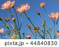 秋桜畑 44840830