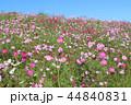 秋桜畑 44840831