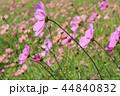 秋桜畑 44840832
